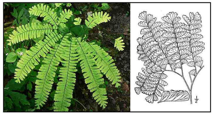 Northern Maidenhair Fern Adiantum Pedatum Common