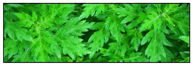 Damong maria/ Artemisia vulgaris Linn / MAIDEN WORT, wormwood