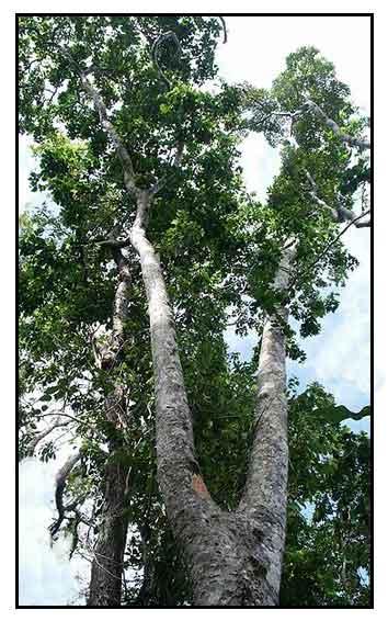 ipil ipil extract Kamatsile - halamang gamot / herbal medicine other scientific names  study of the aqueous extract of pithecellobium dulce leaves revealed phenolics .