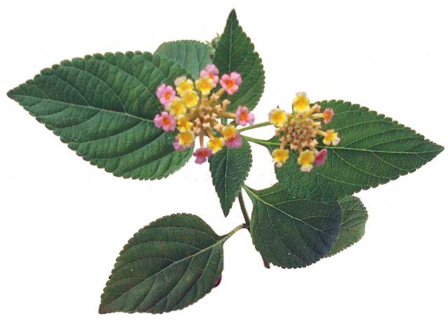 medicinal plants in the philippines a Financial viability of medicinal plant farming the integration of medicinal  this  can help boost the philippine herbal industry by providing.