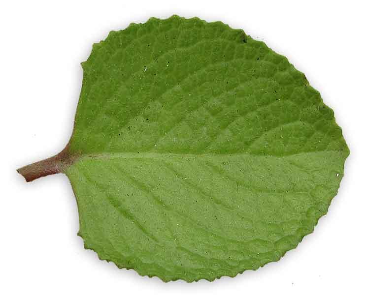 Oregano / Suganda / Coleus aromaticus: Philippine ...