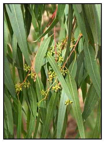 گیاهان سمی و مضر برای ایگوانای معمولی