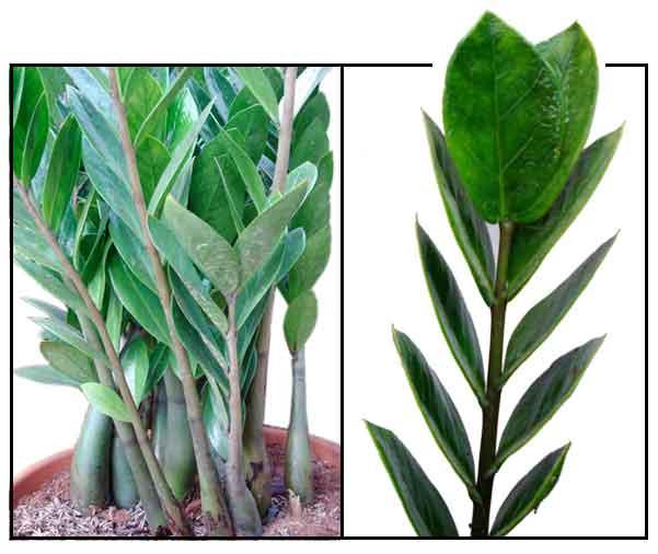 Zamioculcas zz plant aroid plant philippine medicinal